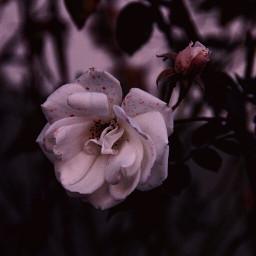 photography macro flower white nature