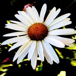 photography daisy macro