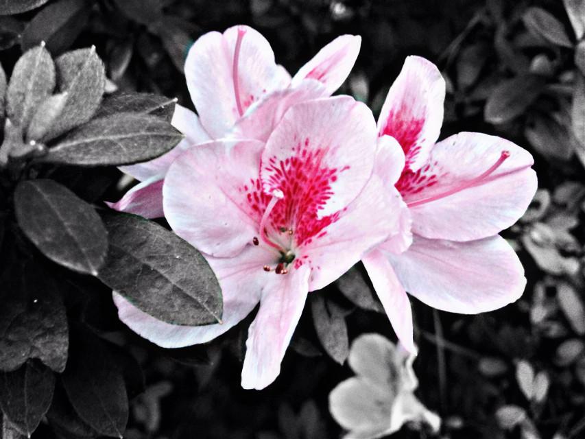 Blumen blühen, aber nur vorübergehend. Es ist das gleiche mit den Menschen.   #blume #blühen #azalea #flower