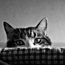 blackandwhite petsandanimals photography monochrome cat