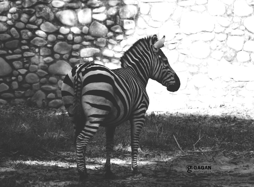 #stripes #zoo #zebra #blackandwhite #photography
