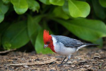 kauai hawaii nature bird cardinal