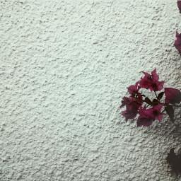 dreamy freetoedit flower photography artistic dramaeffect white mygarden