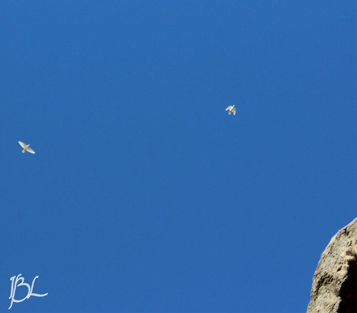 The 2 white doves that were flying over the mission we went to Saturday. What a blessing to see them!   #photography  #colorful  #myshot  #doves #missionsanjose  #missions   #sanantoniotx  #beauty  #blessings #bluesky  #blue  #whitedoves