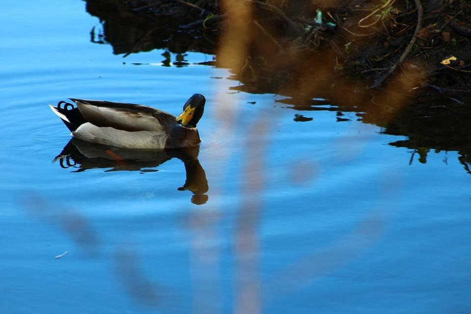#london #water #duck #evening #looking  #interesting #nature #sky #