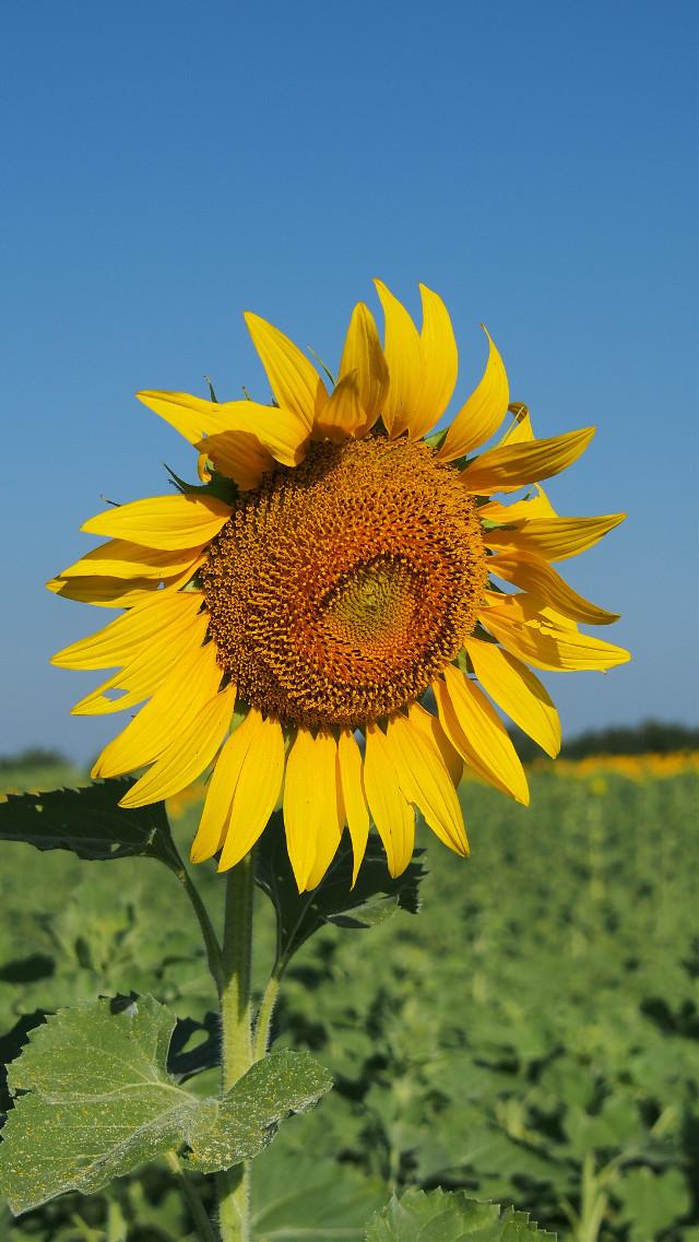 Sunflower Thailand