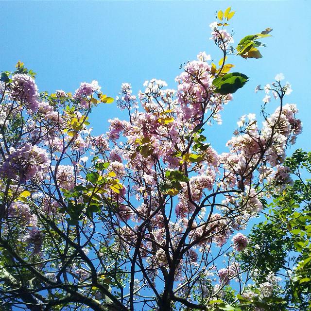 #nature #flower #love #tree #photography #pinkflowers #bluesky #spring
