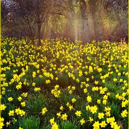 wppsunnyday intothesun flowers yellow daffodils