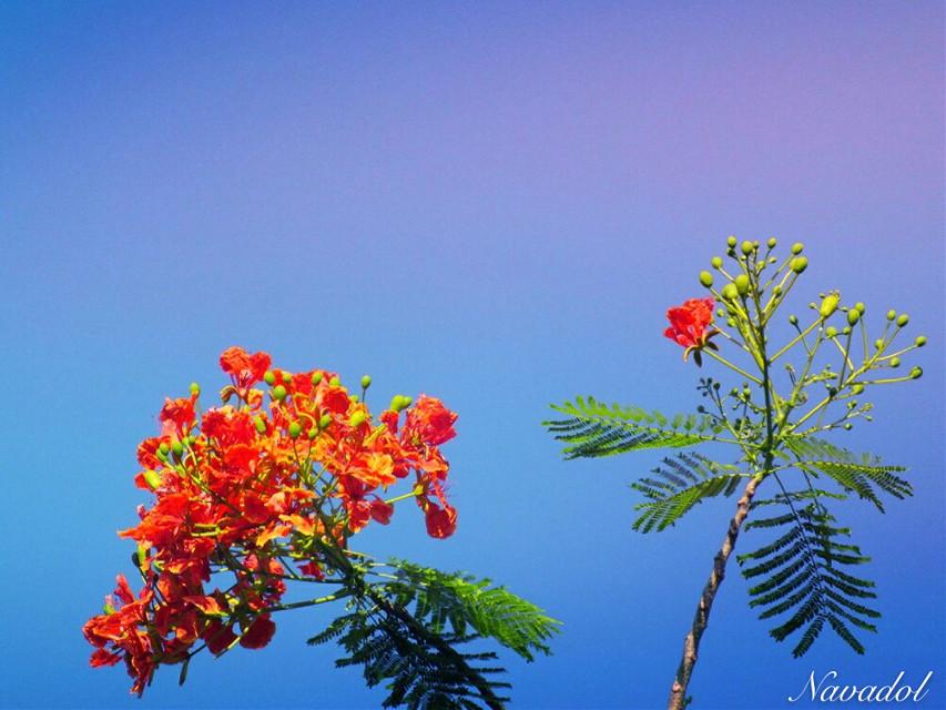 #flower #photography  Flamboyant