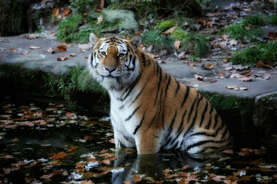 Hi I entered 3 pics in the zoo contest if you wish please vote:)..  took this picture at the Nürnberg Zoo using my Canon 5D Mark lll with my lens EF 70-300mm f/4-5.6L IS USM   #wppzoo #tiger #zoo #water #autumn