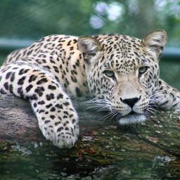 freetoedit wild animals tiger