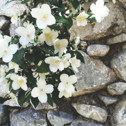 freetoedit flower white nature photography