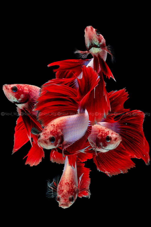Red attack   #colorful #colorsplash #cute #freetoedit #hdr #nature #petsandanimals #photography #indonesia #fish #betta #bettafish #siamese #fightingfish