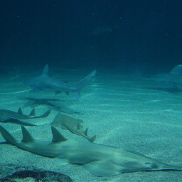 sharks water blue bottomoftheocean ocean