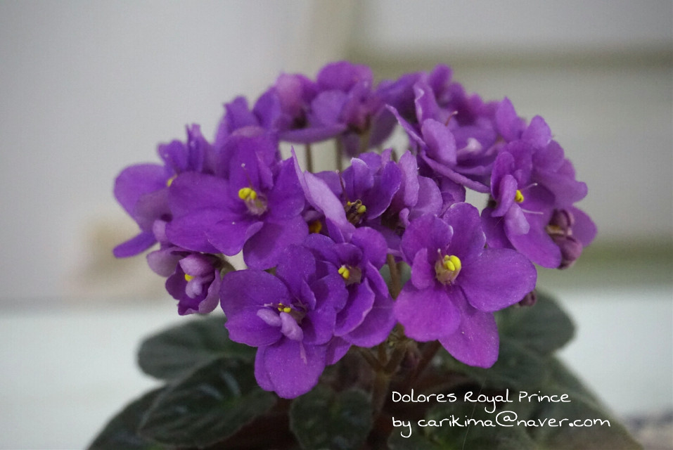 #Africanviolet  #miniature  #Dolores_Royal_Prince